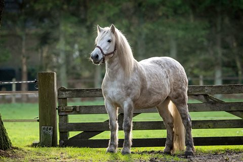 Highland pony: alles over het ras
