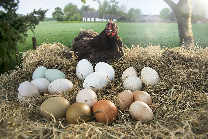 Super Wanneer leggen kippen eieren? | Landleven #BH12