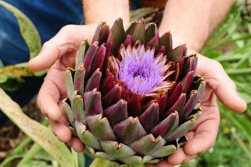 Bekend Artisjok in de tuin en op bord: tips en trucs | Landleven &VW72